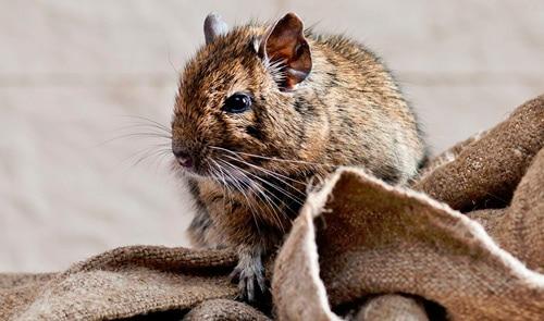rata fumigaciones control de plagas desratización quijote el hidalgo
