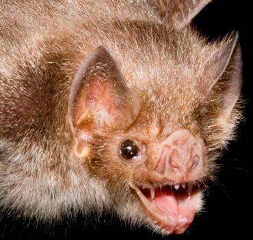 murciélago quijote el hidalgo